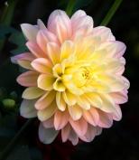 7068-Pink-Dahlia