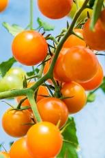 7216-Tomatoes